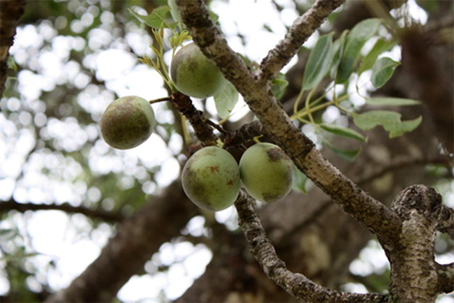 Marula fruit; Image courtesy of blog.xuite.net