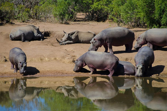 Hippo and Rhino at the watering hole
