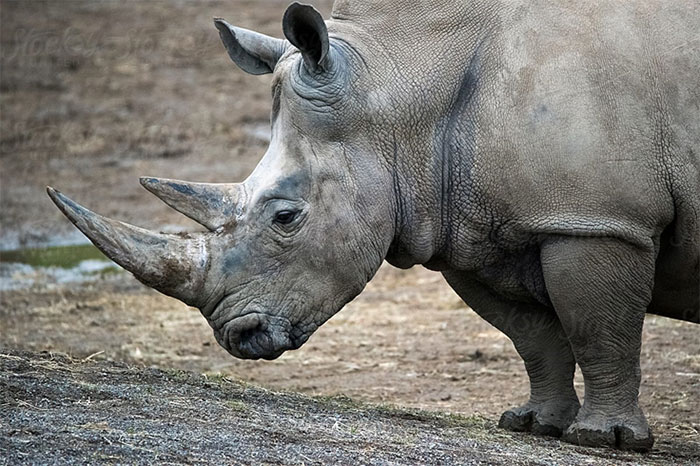 Fantastic safari beasts and where to find them: Rhinos in Eswatini